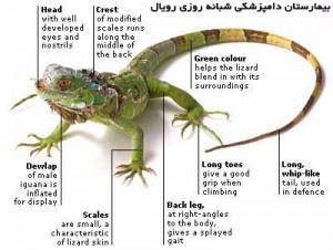 قسمت های مختلف بدن ایگوانا بیمارستان دامپزشکی شبانه روزی رویال| Royal Vet Hospital Iguana Body Part