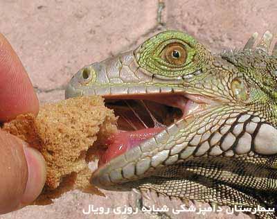 hand-iguana