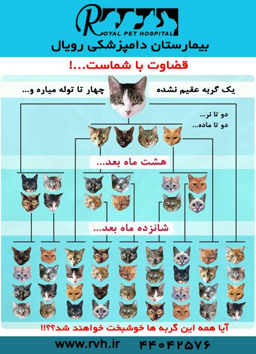تولید مثل گربه - بیمارستان دامپزشکی شبانه روزی رویال   Cat Breeding - Royal Vet Hospital