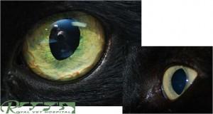 سلامت چشم گربه - بیمارستان دامپزشکی شبانه روزی رویال | Cat Eyes - Royal Vet Hospita