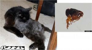کک در گربه - بیمارستان دامپزشکی شبانه روزی رویال | Flea on Cat - Royal Vet Hospital
