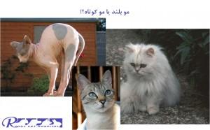گربه مو بلند یا گربه مو کوتاه - بیمارستان دامپزشکی شبانه روزی رویال | Long hair cat or short hair cat - Royal Vet Hospital