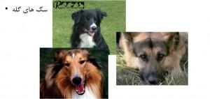 سگ های گله - بیمارستان دامپزشکی شبانه روزی رویال   Herding Dog Breed - Royal Vet Hospital
