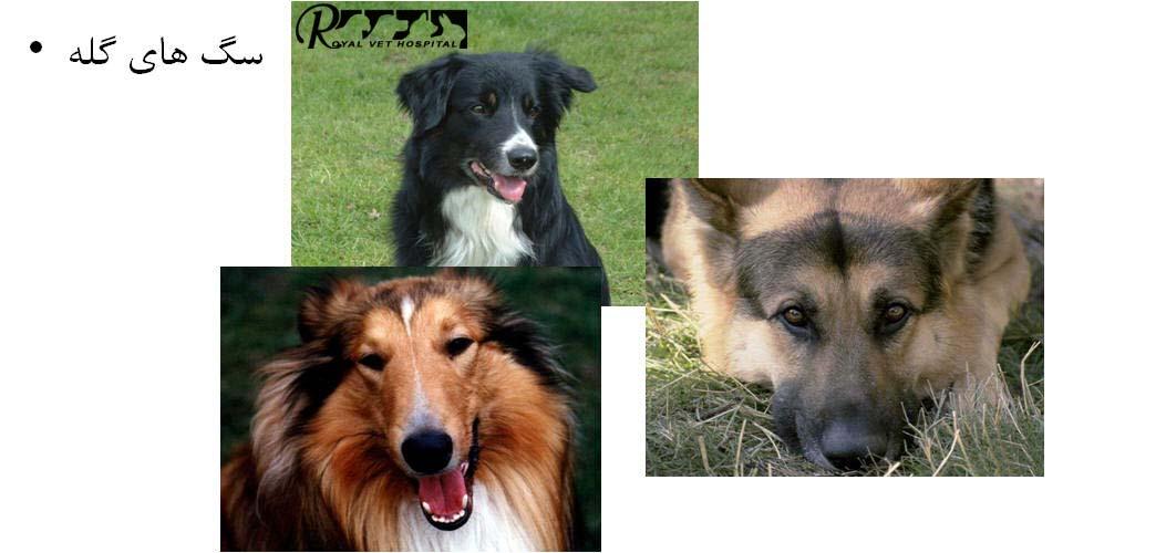 Royal Vet Hospital-Herding Dog