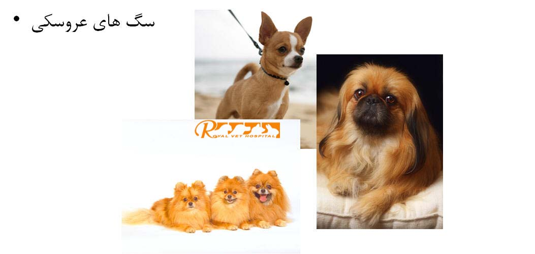 Royal Vet Hospital-Miniature Dog