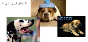 سگ های غیر ورزشی - بیمارستان دامپزشکی شبانه روزی رویال | Non-Sporting Dog Breed - Royal Vet Hospital