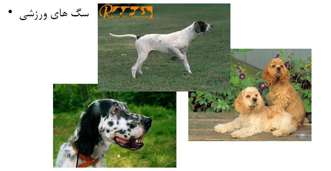 Royal Vet Hospital-Sporting Dog