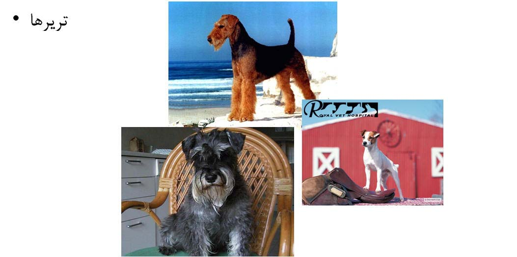 نژاد سگ تریر |- بیمارستان دامپزشکی شبانه روزی رویال | Terrier Dog Breed - Royal Vet Hospital