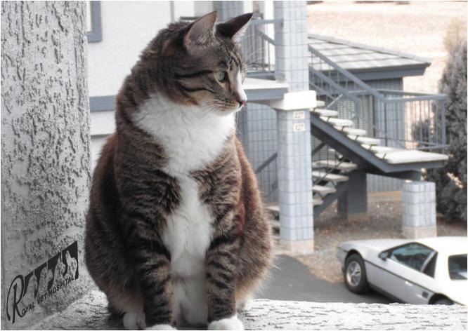 چرا گربه؟ - بیمارستان دامپزشکی شبانه روزی رویال | Why Cat