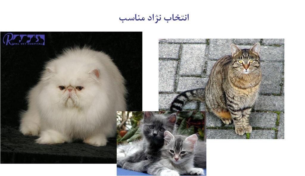 انتخاب نژاد مناسب گربه - بیمارستان دامپزشکی شبانه روزی رویال | Cats Breed - Royal Vet Hospital