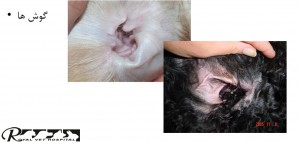 بررسی گوش سگ - بیمارستان دامپزشکی شبانه روزی رویال | Dog Ears Checking - Royal Vet Hospital