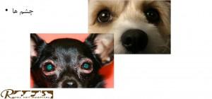 بررسی چشم سگ - بیمارستان دامپزشکی شبانه روزی رویال | Dog Eyes Checking - Royal Vet Hospital