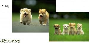 بررسی پا سگ - بیمارستان دامپزشکی شبانه روزی رویال | Dog Feet Checking - Royal Vet Hospital