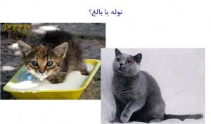 توله گربه یا گربه بالغ - بیمارستان دامپزشکی شبانه روزی رویال | Cat or Kitten - Royal Vet Hospital