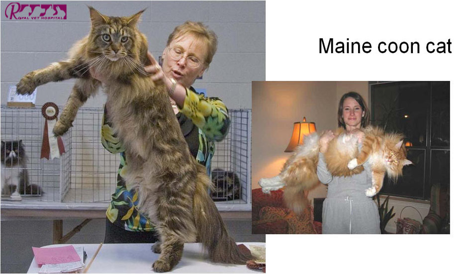 گربه نژاد Maine Coon - بیمارستان دامپزشکی شبانه روزی رویال | Maine Coon Cat - Royal Vet Hospital
