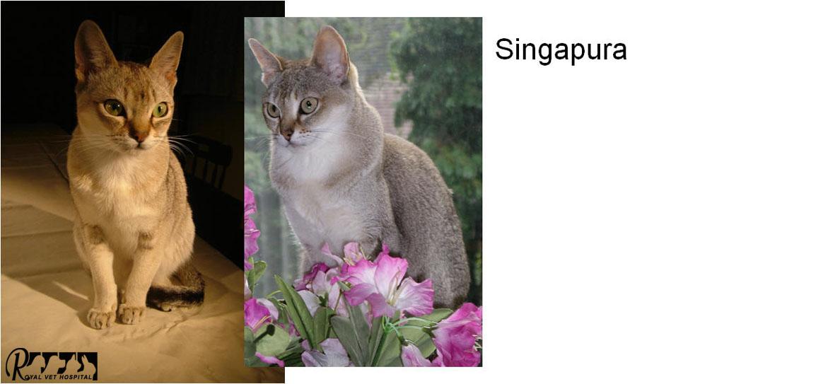 گربه نژاد Singapura - بیمارستان دامپزشکی شبانه روزی رویال | Singapura - Royal Vet Hospital