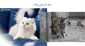 گربه نژاد دار یا گربه بی نژاد - بیمارستان دامپزشکی شبانه روزی رویال | Have Breed or not