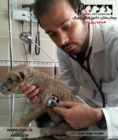 معاینه توله شیر - بیمارستان دامپزشکی رویال   Royal Vet Hospital - Checkup Lion Cub