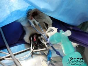 جراحی توله شیر1 - بیمارستان دامپزشکی رویال | Royal Vet Hospital - Surgery Lion Cub