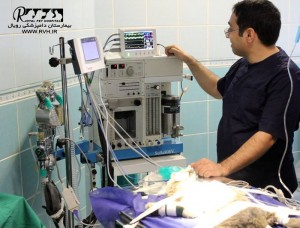 جراحی تثبیت شکستگی مهره در یک قلاده شیر یک و نیم ماهه - بیمارستان دامپزشکی رویال | Royal Vet Hospital - Surgery Lion Cub2